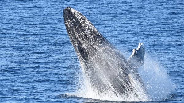 Whales shock onlookers as they pop in to Bushrangers Bay